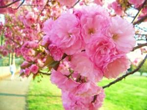 Kwanzan_Cherry_Blossoms_by_meljoy68